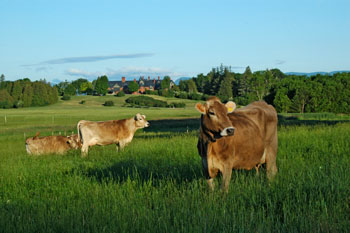 Brown Swiss cows and Inn at Shelburne Farms by Marshall Webb