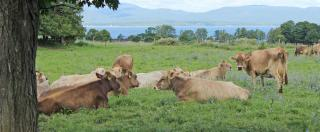 Pasture-based Brown Swiss Cow Dairy