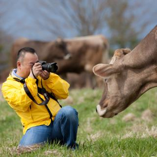 photographer taking a photo of a cow