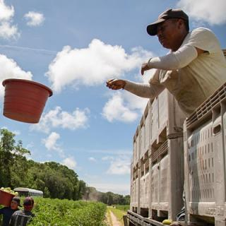 A worker catches and empties harvest buckets into a flatbed truck that can hold 80,000 pounds of tomatoes.